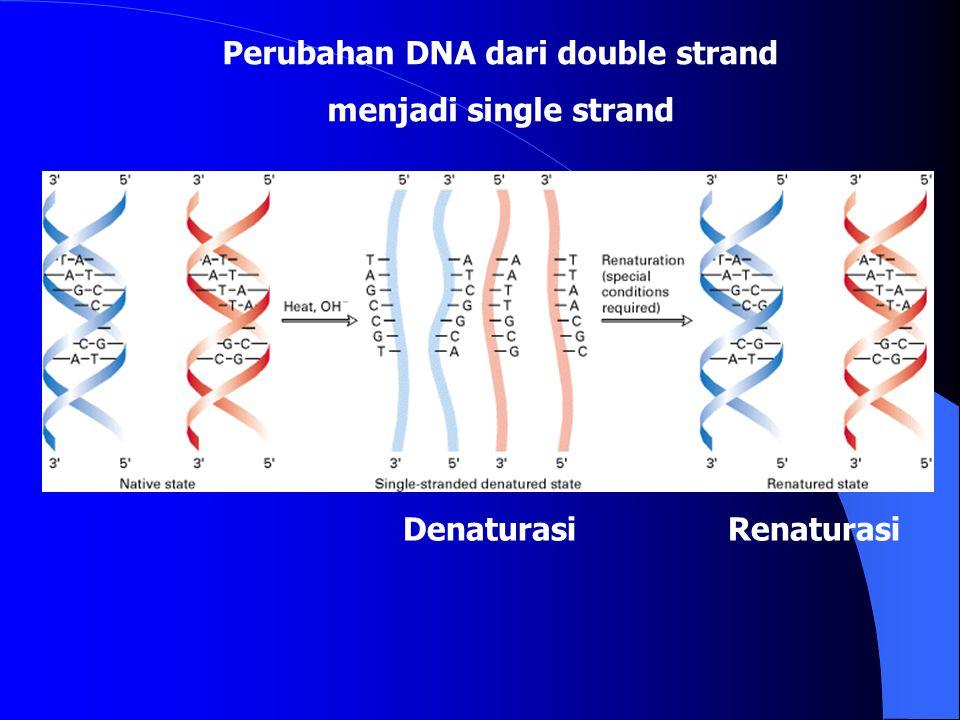 Perubahan DNA dari double strand