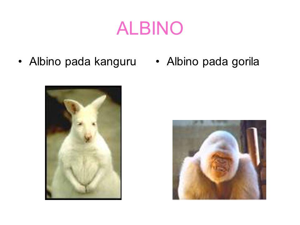 ALBINO Albino pada kanguru Albino pada gorila