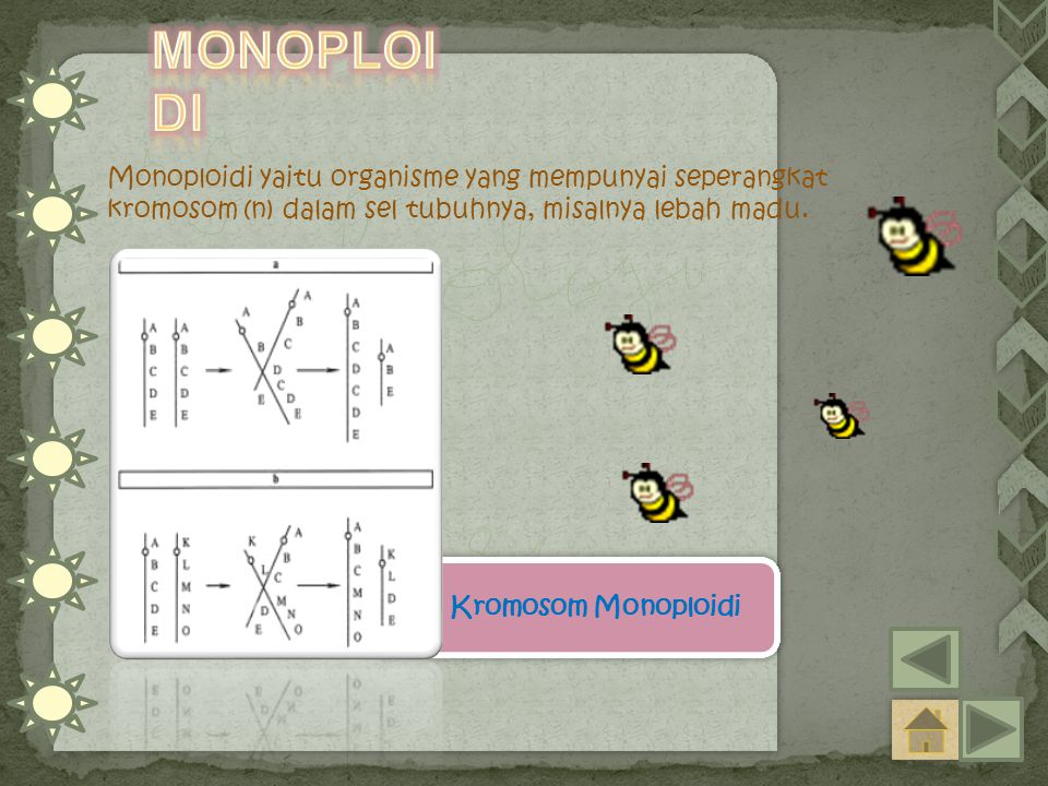 Monoploidi Monoploidi yaitu organisme yang mempunyai seperangkat kromosom (n) dalam sel tubuhnya, misalnya lebah madu.