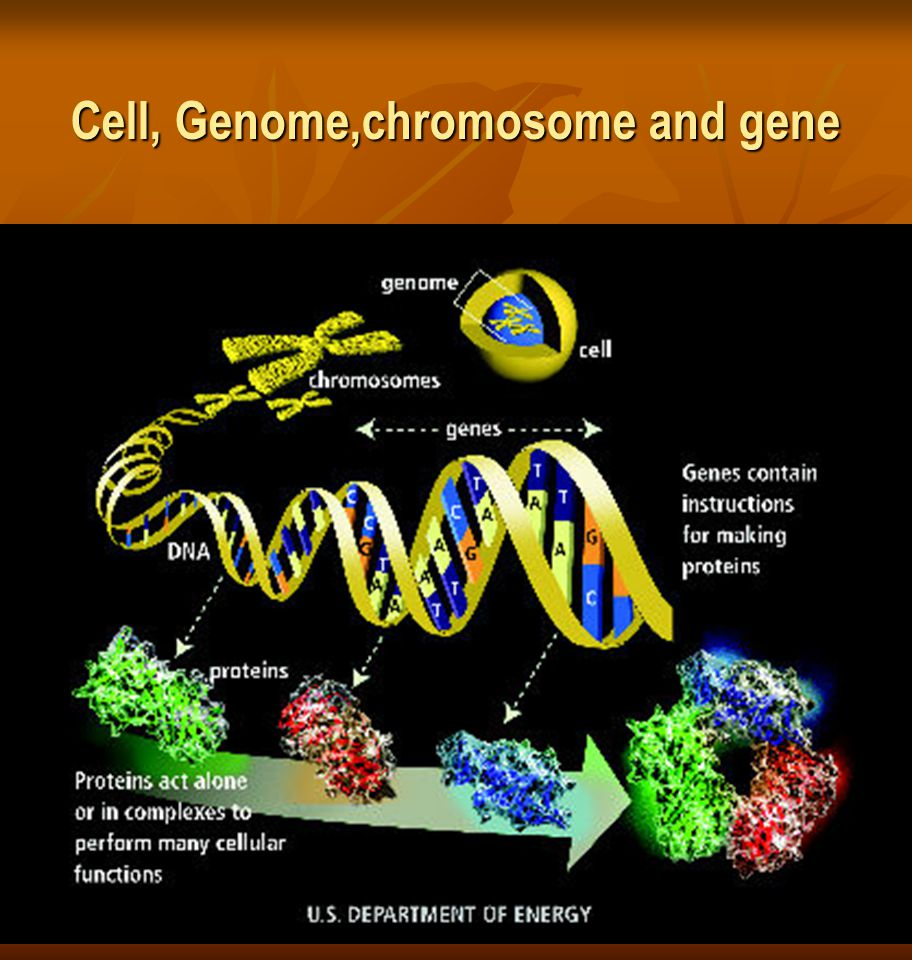 Cell, Genome,chromosome and gene