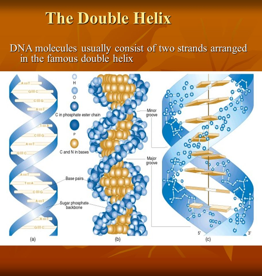 The Double Helix DNA molecules usually consist of two strands arranged in the famous double helix