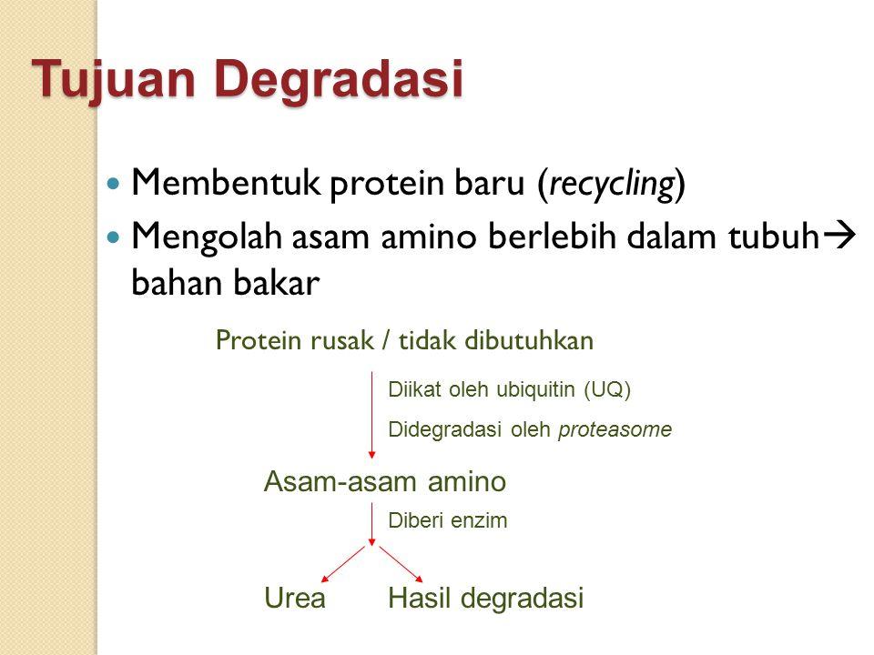 Tujuan Degradasi Membentuk protein baru (recycling)