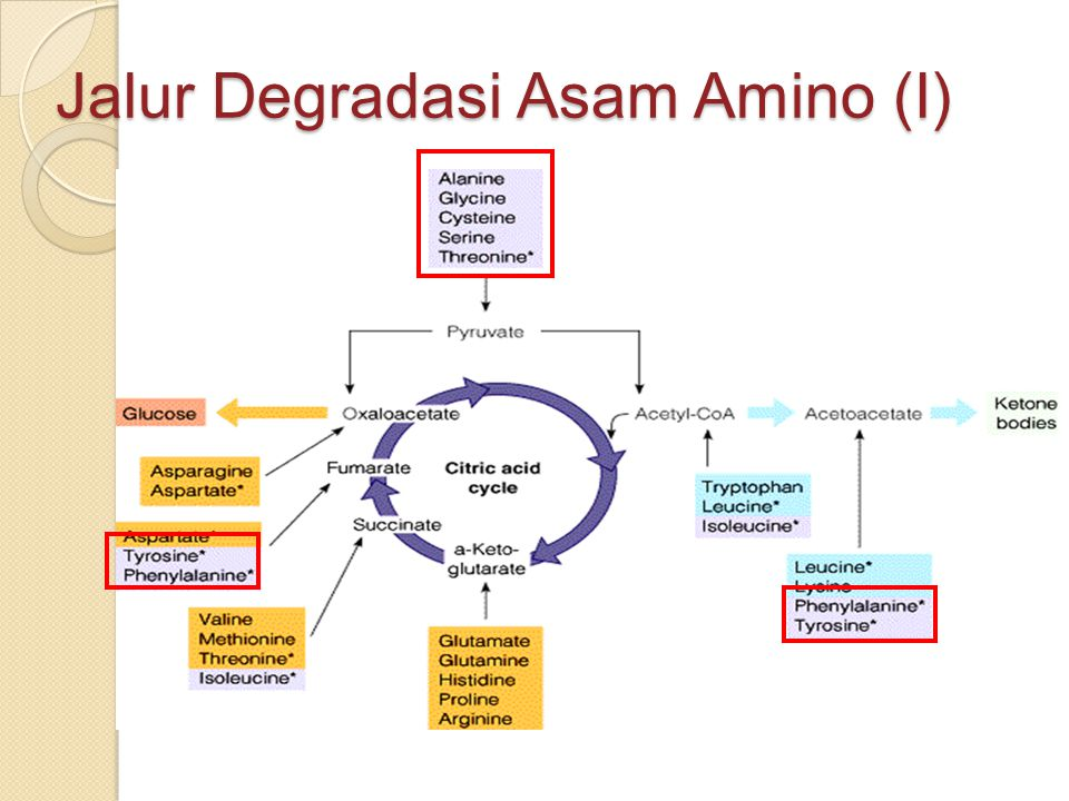 Jalur Degradasi Asam Amino (I)
