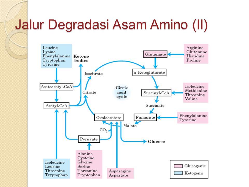 Jalur Degradasi Asam Amino (II)
