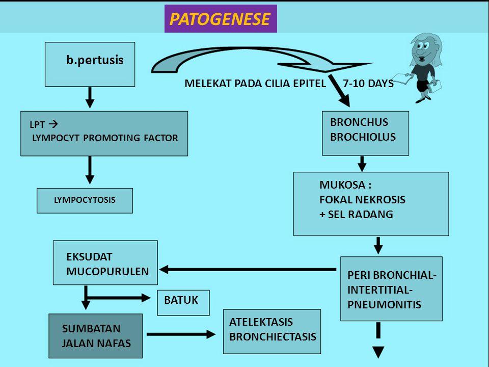 PATOGENESE b.pertusis MELEKAT PADA CILIA EPITEL 7-10 DAYS BRONCHUS