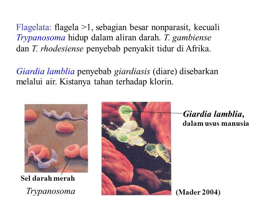 Flagelata: flagela >1, sebagian besar nonparasit, kecuali