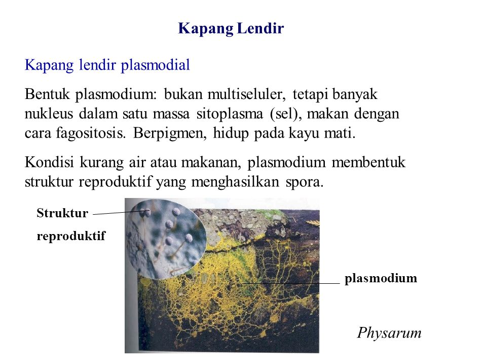 Kapang lendir plasmodial