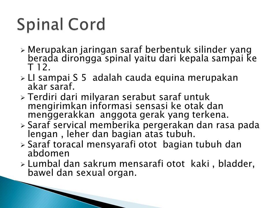 Spinal Cord Merupakan jaringan saraf berbentuk silinder yang berada dirongga spinal yaitu dari kepala sampai ke T 12.