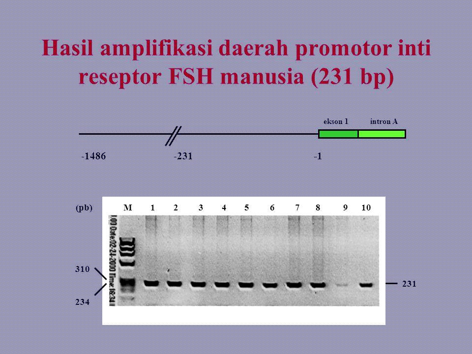 Hasil amplifikasi daerah promotor inti reseptor FSH manusia (231 bp)