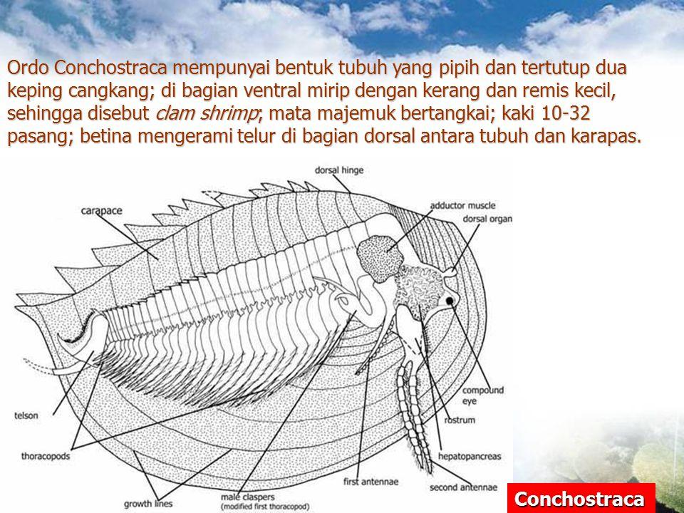 Ordo Conchostraca mempunyai bentuk tubuh yang pipih dan tertutup dua keping cangkang; di bagian ventral mirip dengan kerang dan remis kecil, sehingga disebut clam shrimp; mata majemuk bertangkai; kaki 10-32 pasang; betina mengerami telur di bagian dorsal antara tubuh dan karapas.