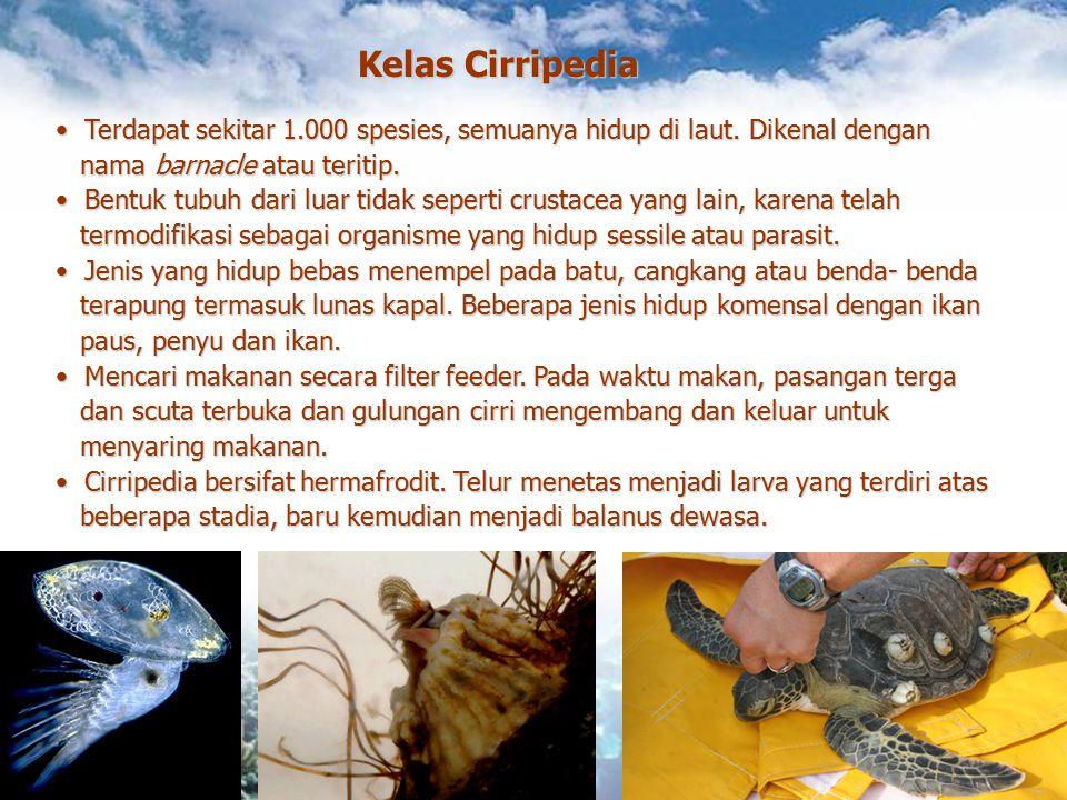 Kelas Cirripedia Terdapat sekitar 1.000 spesies, semuanya hidup di laut. Dikenal dengan. nama barnacle atau teritip.