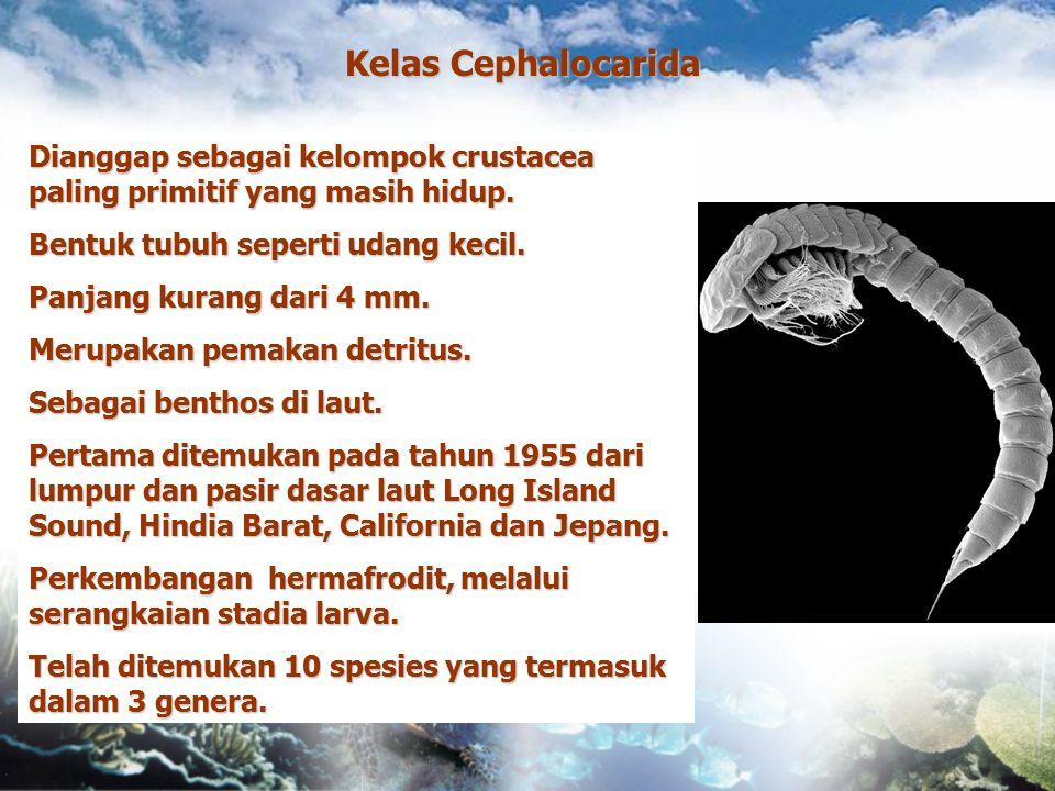 Kelas Cephalocarida Dianggap sebagai kelompok crustacea paling primitif yang masih hidup. Bentuk tubuh seperti udang kecil.