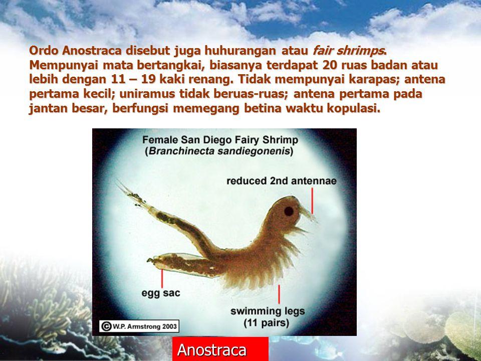 Ordo Anostraca disebut juga huhurangan atau fair shrimps