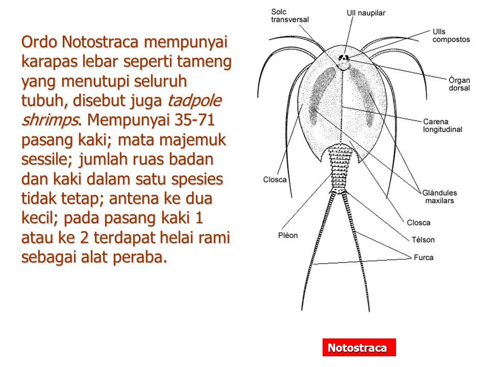 Ordo Notostraca mempunyai karapas lebar seperti tameng yang menutupi seluruh tubuh, disebut juga tadpole shrimps. Mempunyai 35-71 pasang kaki; mata majemuk sessile; jumlah ruas badan dan kaki dalam satu spesies tidak tetap; antena ke dua kecil; pada pasang kaki 1 atau ke 2 terdapat helai rami sebagai alat peraba.