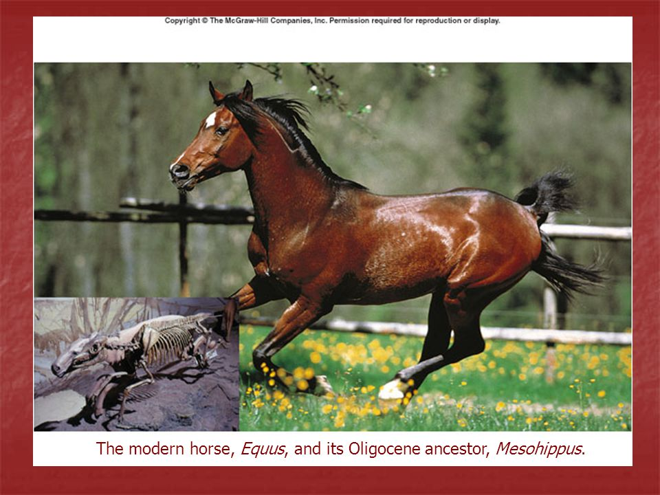 The modern horse, Equus, and its Oligocene ancestor, Mesohippus.