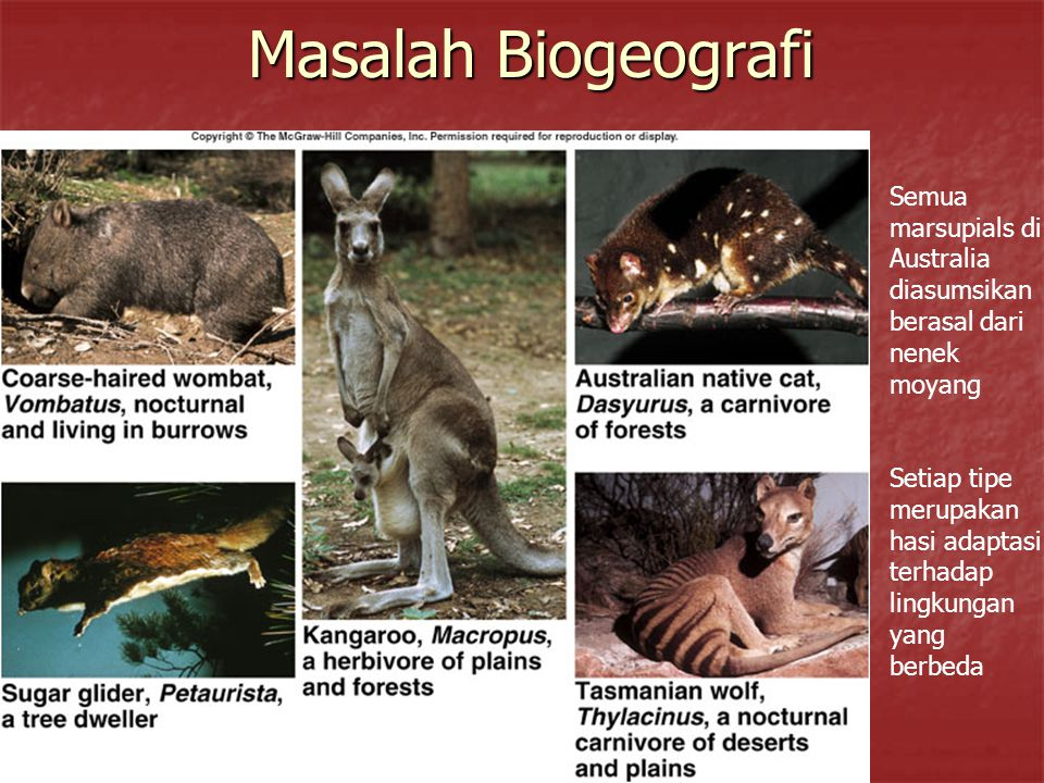 Masalah Biogeografi Semua marsupials di Australia diasumsikan berasal dari nenek moyang.