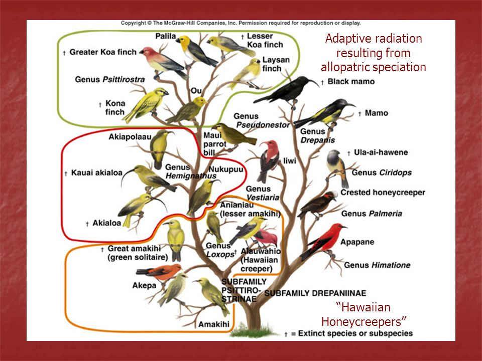 Adaptive radiation resulting from allopatric speciation