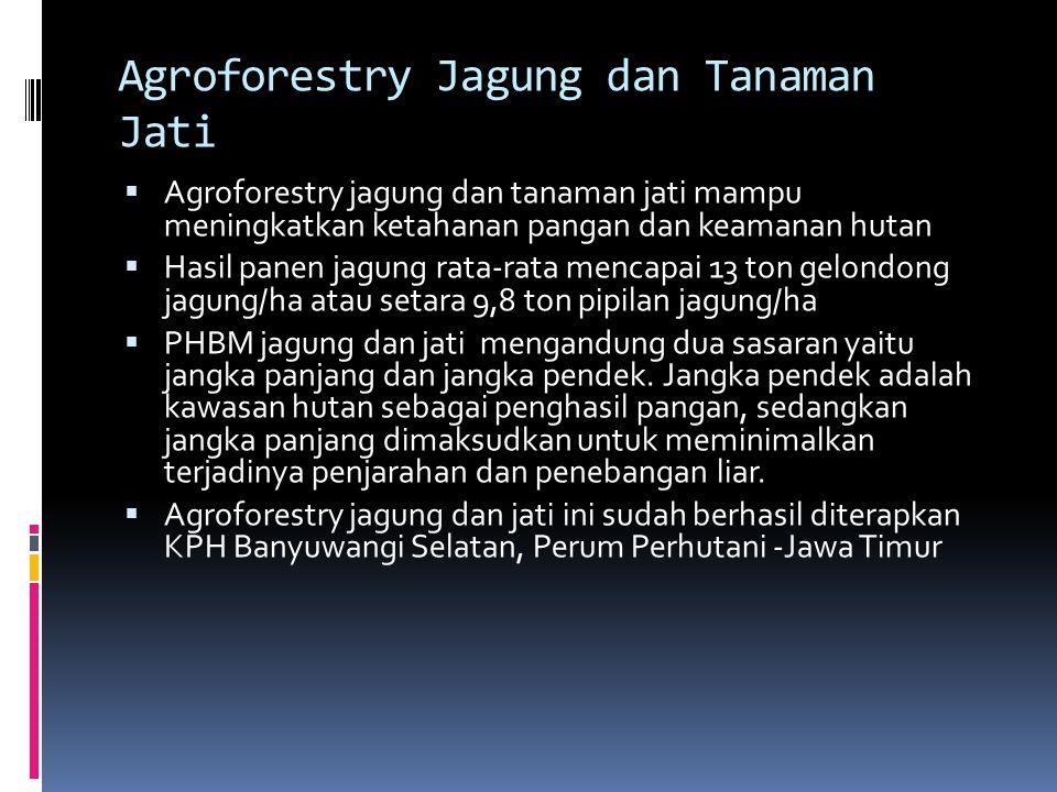 Agroforestry Jagung dan Tanaman Jati