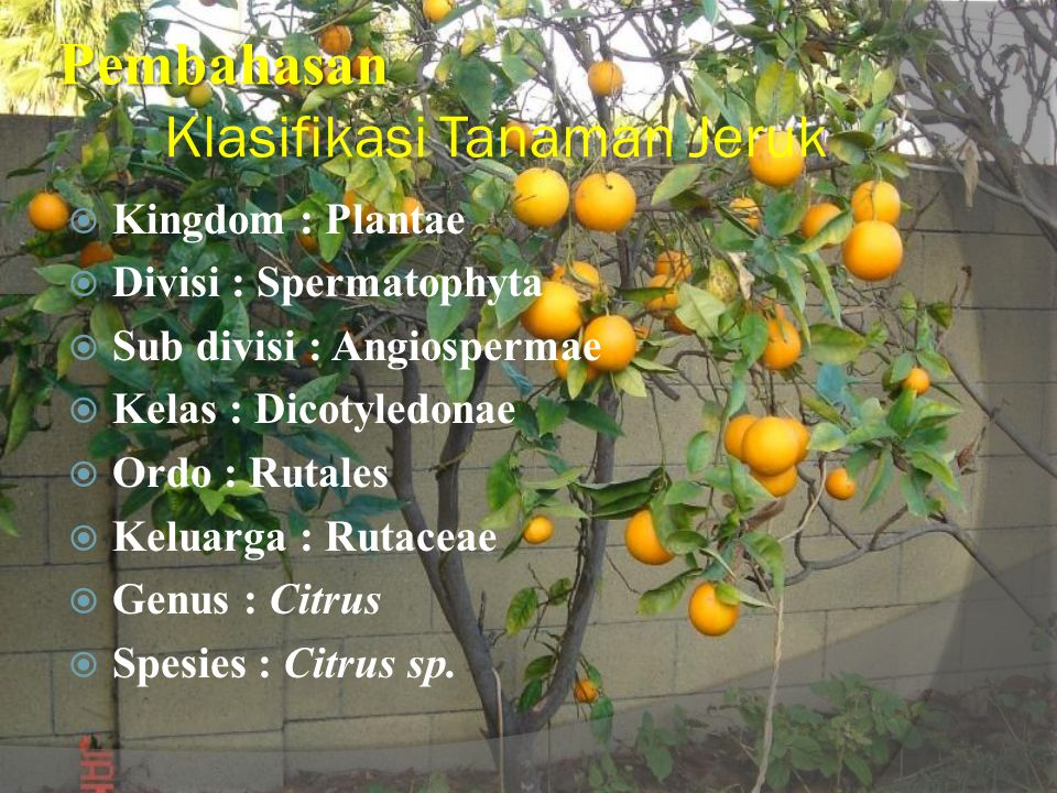 Pembahasan Klasifikasi Tanaman Jeruk