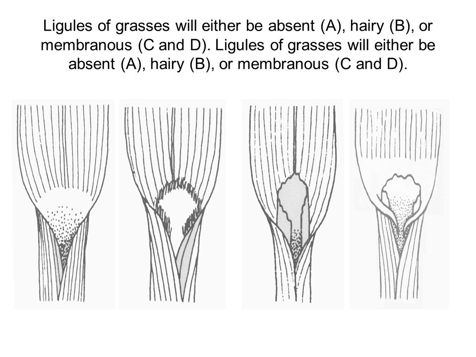 Ligules of grasses will either be absent (A), hairy (B), or membranous (C and D).