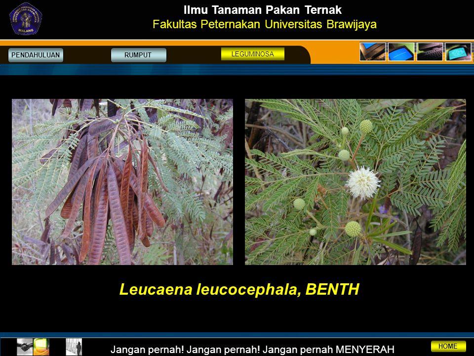Ilmu Tanaman Pakan Ternak Leucaena leucocephala, BENTH