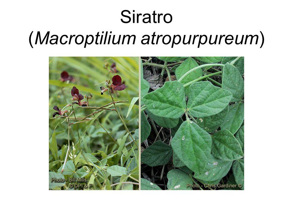 Siratro (Macroptilium atropurpureum)
