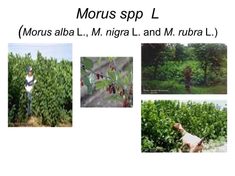 Morus spp L (Morus alba L., M. nigra L. and M. rubra L.)
