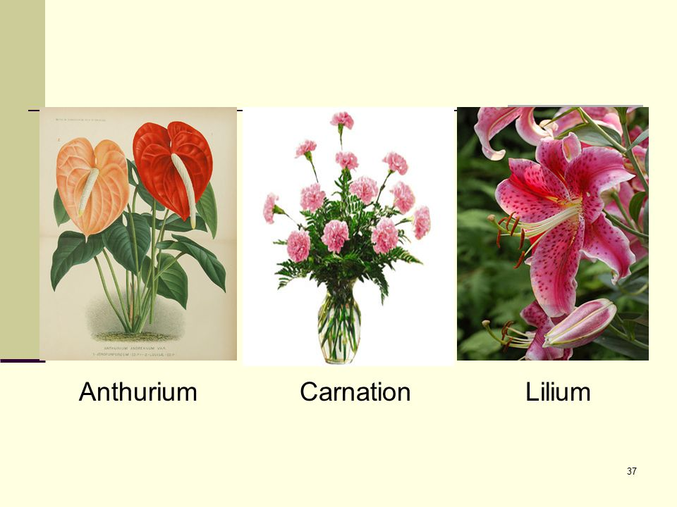Anthurium Carnation Lilium