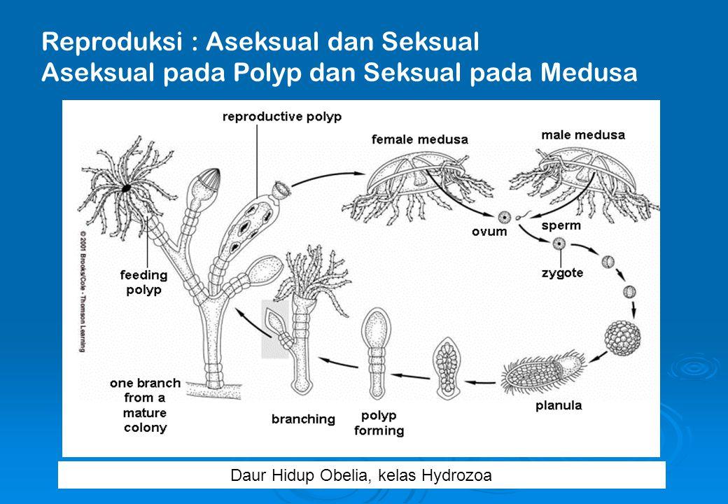 Daur Hidup Obelia, kelas Hydrozoa