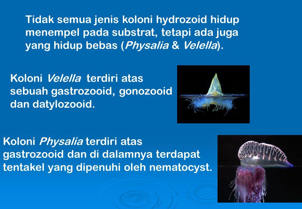 Tidak semua jenis koloni hydrozoid hidup