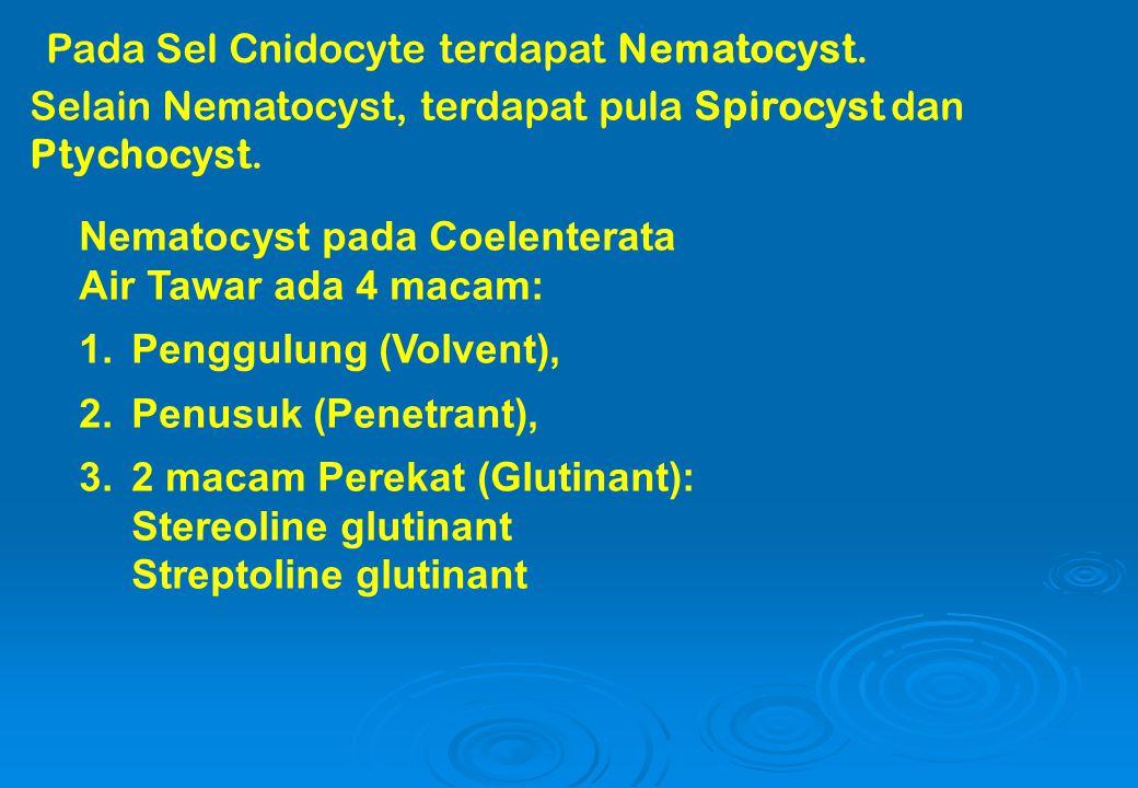 Pada Sel Cnidocyte terdapat Nematocyst.