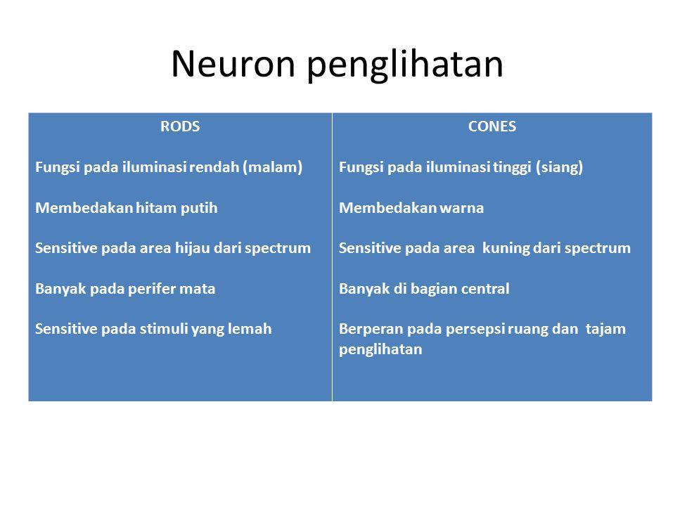 Neuron penglihatan RODS Fungsi pada iluminasi rendah (malam)