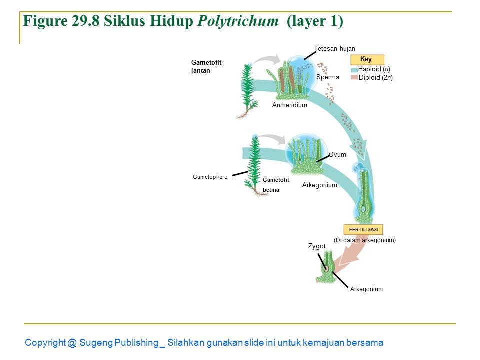 Figure 29.8 Siklus Hidup Polytrichum (layer 1)