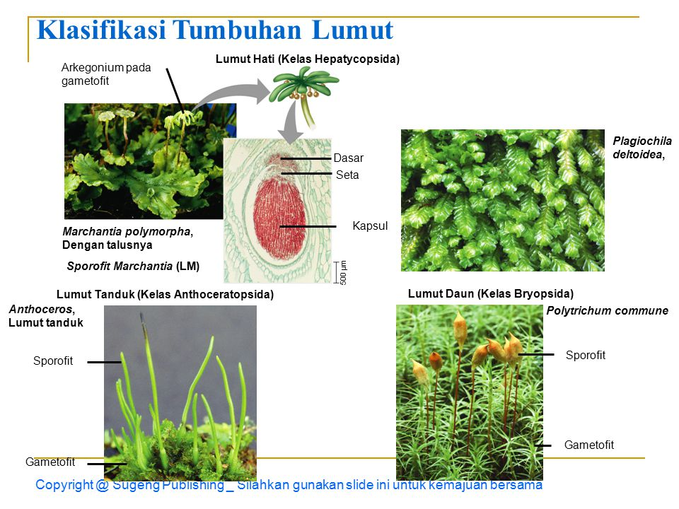 Klasifikasi Tumbuhan Lumut