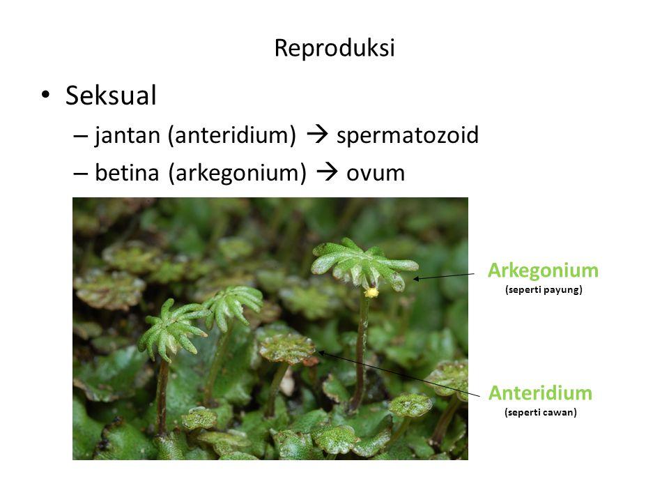 Seksual Reproduksi jantan (anteridium)  spermatozoid