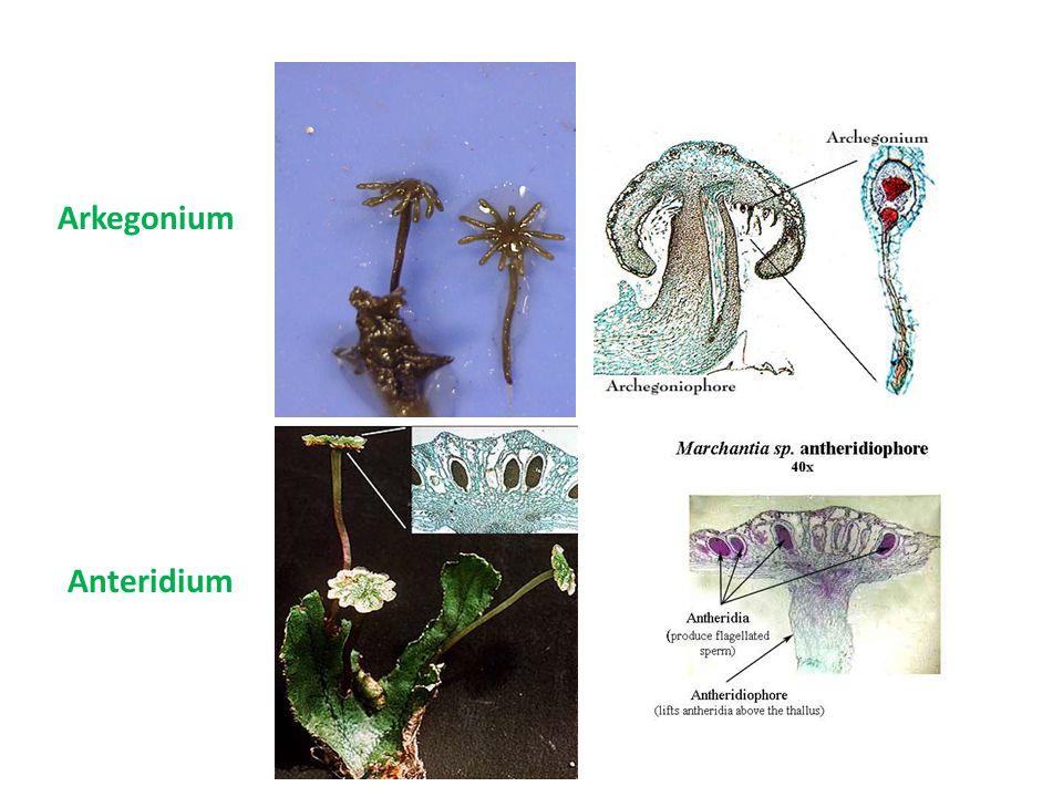 Arkegonium Anteridium