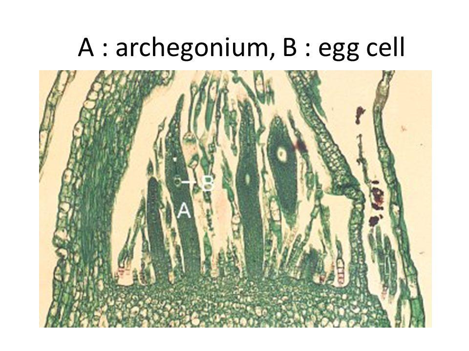 A : archegonium, B : egg cell