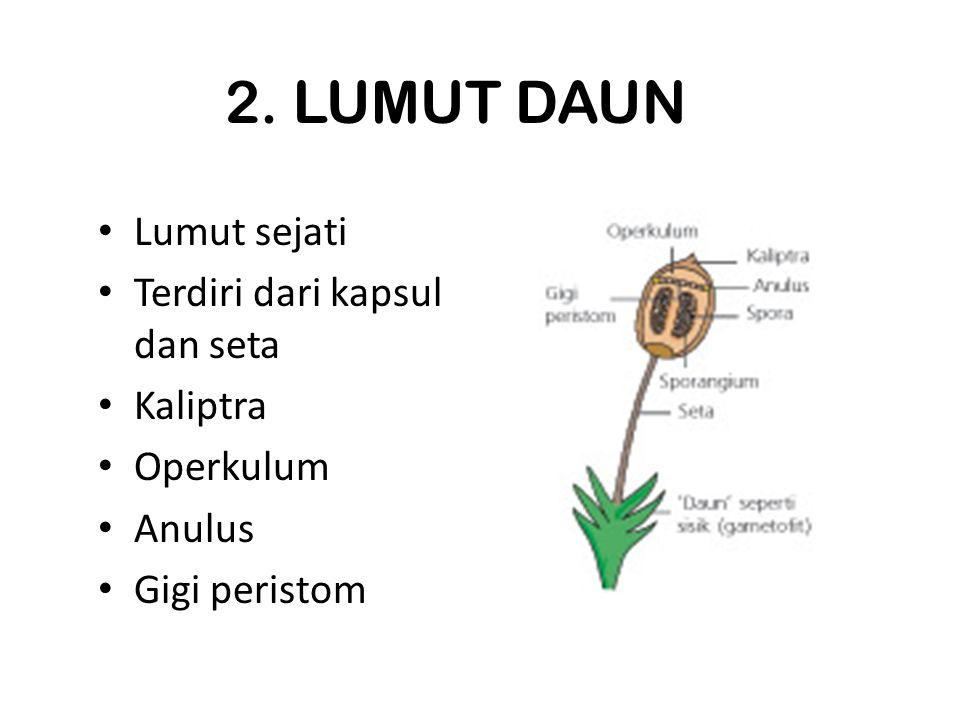 2. LUMUT DAUN Lumut sejati Terdiri dari kapsul dan seta Kaliptra