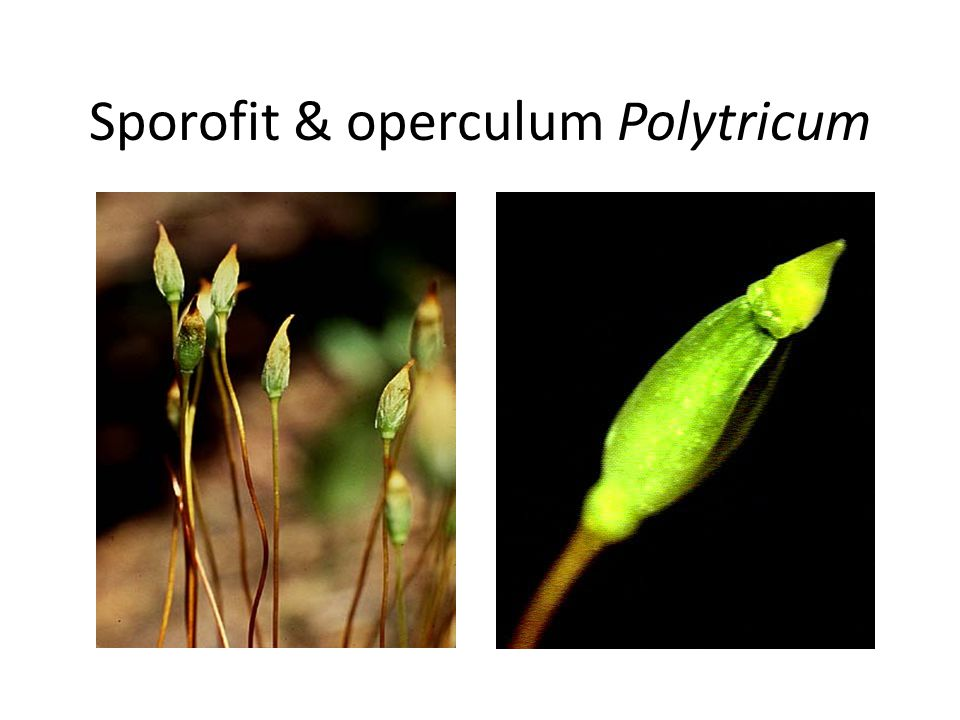 Sporofit & operculum Polytricum