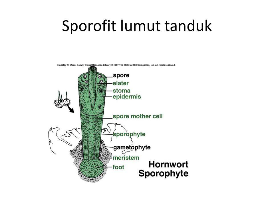 Sporofit lumut tanduk