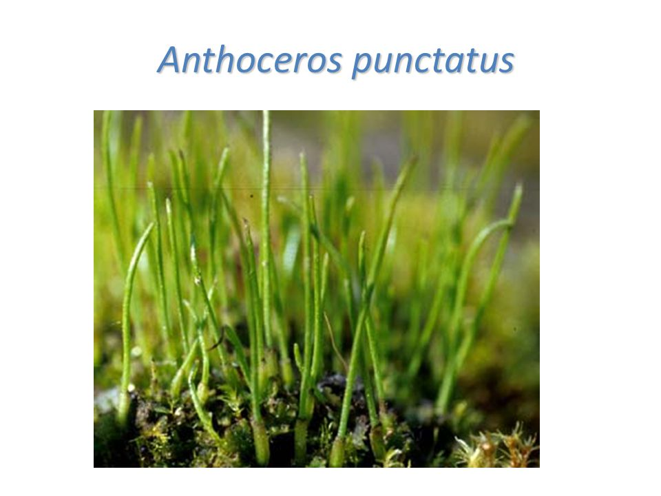 Anthoceros punctatus