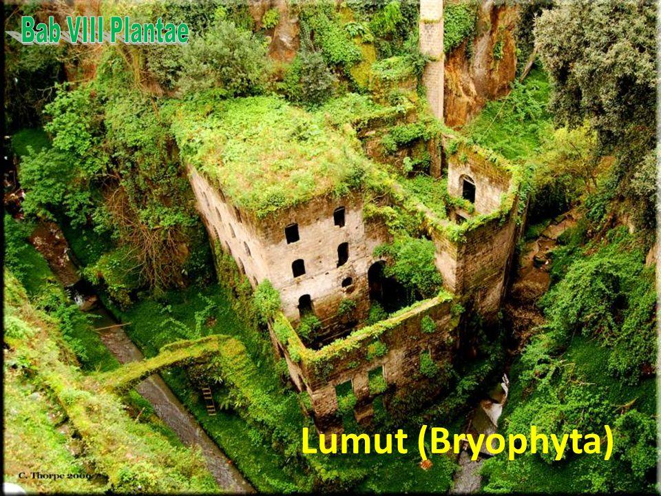Bab VIII Plantae Lumut (Bryophyta)