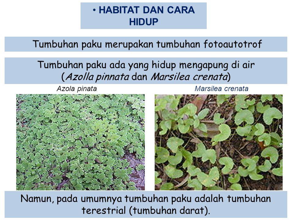 Tumbuhan paku merupakan tumbuhan fotoautotrof