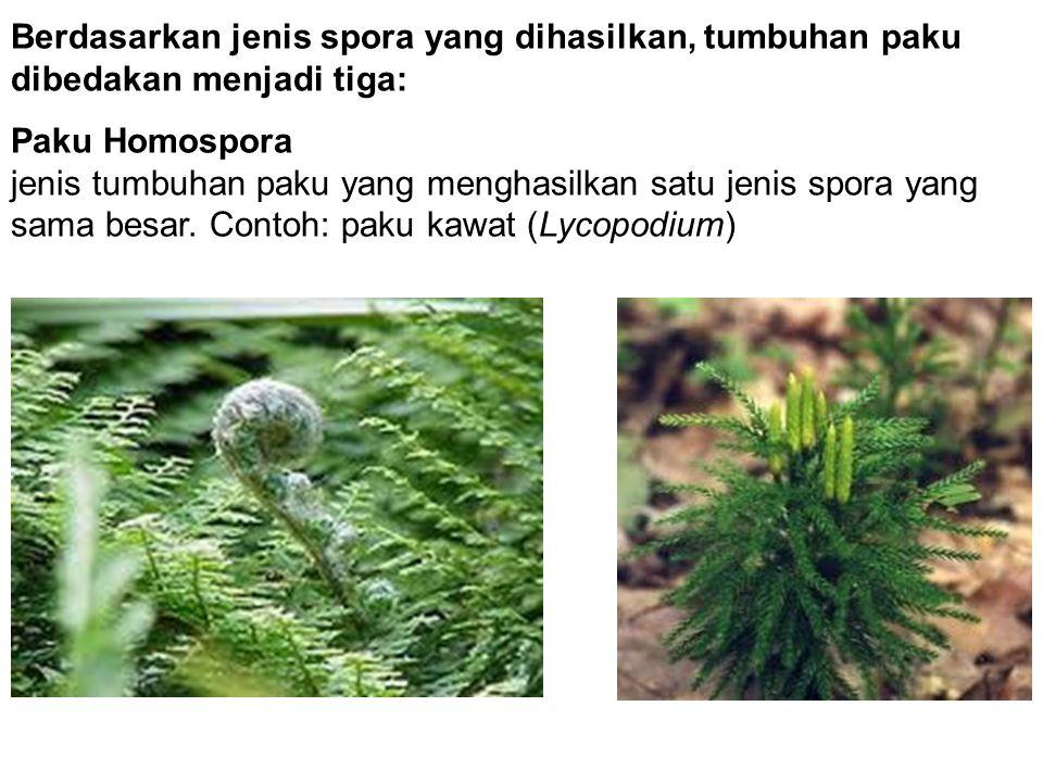 Berdasarkan jenis spora yang dihasilkan, tumbuhan paku dibedakan menjadi tiga: