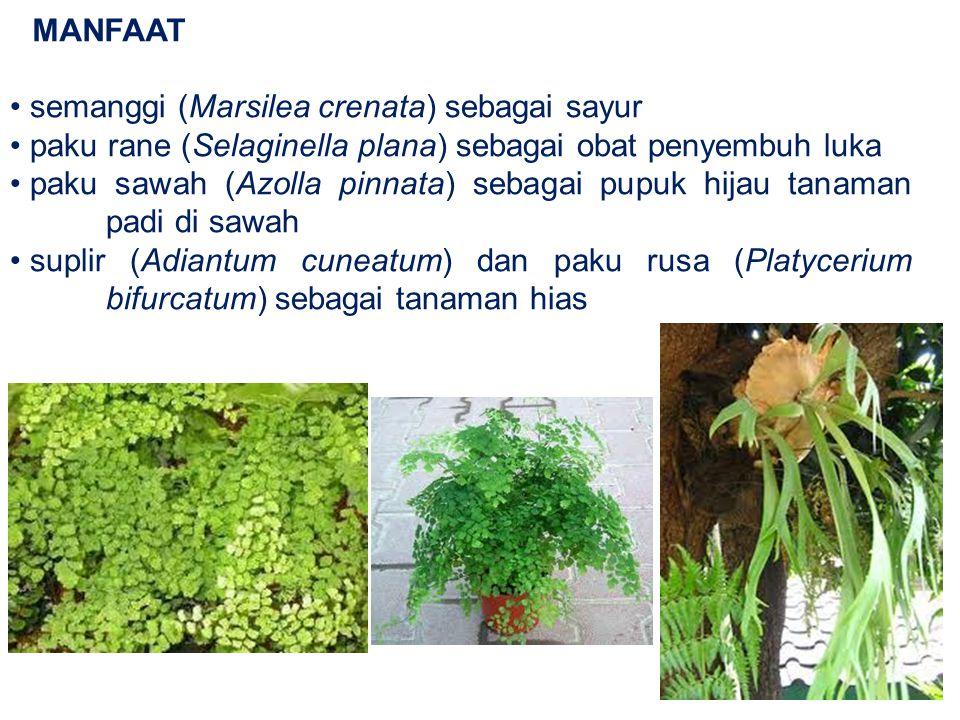 MANFAAT semanggi (Marsilea crenata) sebagai sayur. paku rane (Selaginella plana) sebagai obat penyembuh luka.
