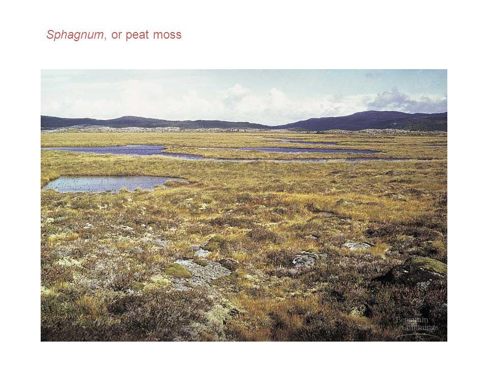Sphagnum, or peat moss