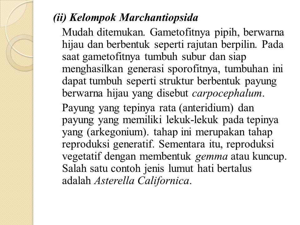 (ii) Kelompok Marchantiopsida Mudah ditemukan