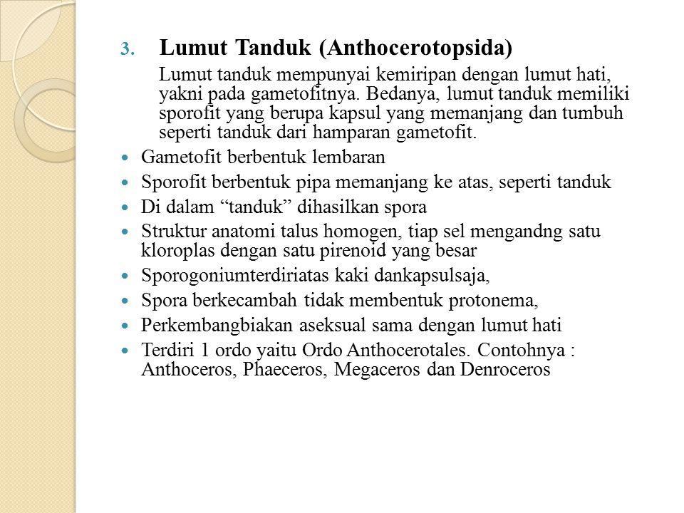 Lumut Tanduk (Anthocerotopsida)