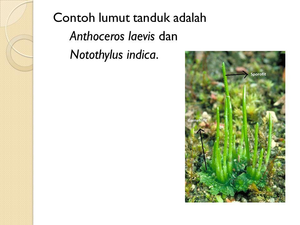 Contoh lumut tanduk adalah Anthoceros laevis dan Notothylus indica.