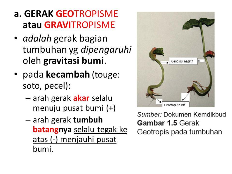 a. GERAK GEOTROPISME atau GRAVITROPISME